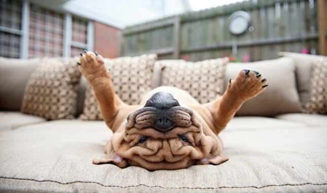 Bulldog Upside Down on Couch