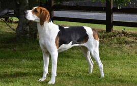 Treeing Walker Coonhound dog breed