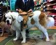 Big dog wearing saddle