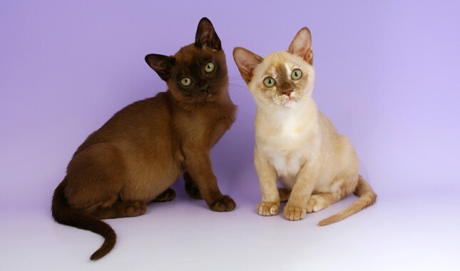 Two Burmese Cats