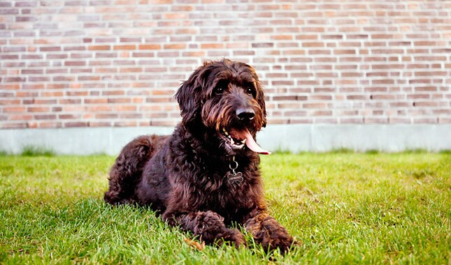 Labradoodle Dog Breed
