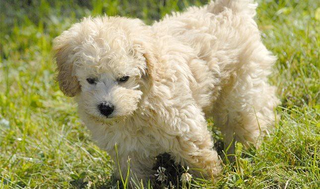 Schnoodle犬种