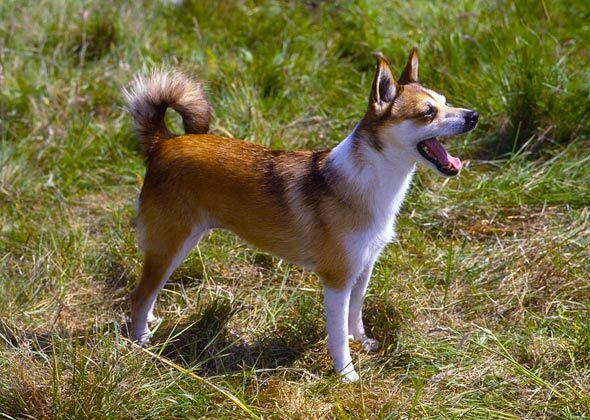 A Dog S Purpose Prick Ears