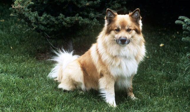 Tan Icelandic Sheepdog Sitting