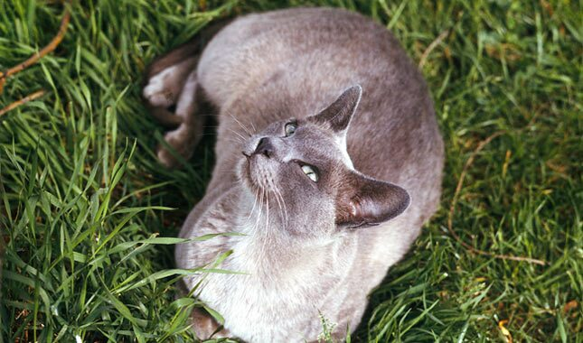 Burmese cat outside