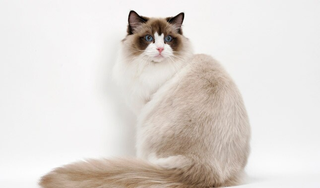 Ragdoll cat sitting