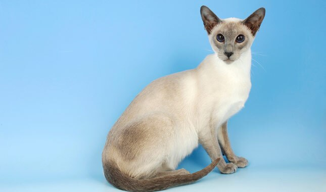 Siamese cat full body