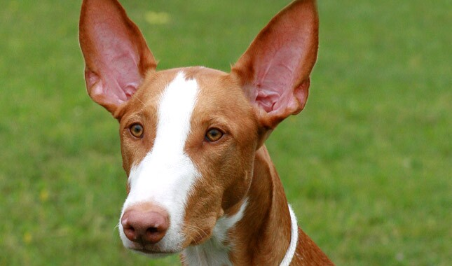 Ibizan Hound Dog Breed