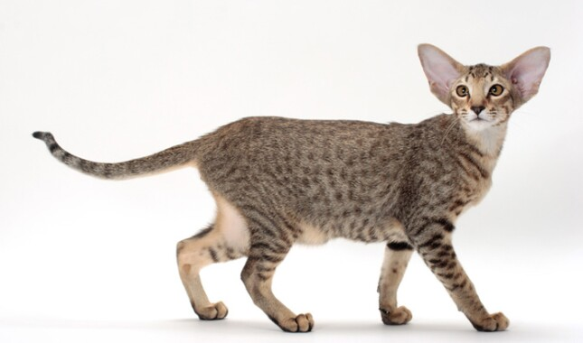 Oriental Shorthair Looking at Camera