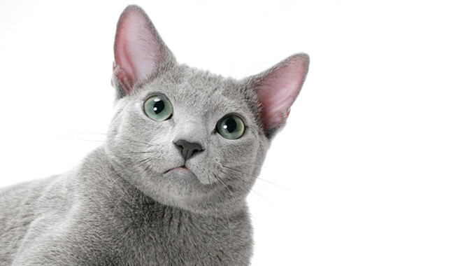 Russian Blue cat close up