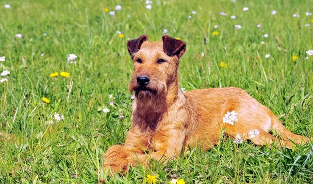爱尔兰狗狗