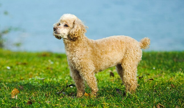 Toy Poodle Standing in Grass
