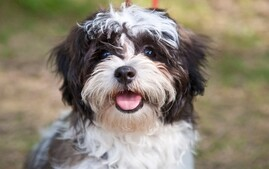 Shih Tzu Smiling at Camera