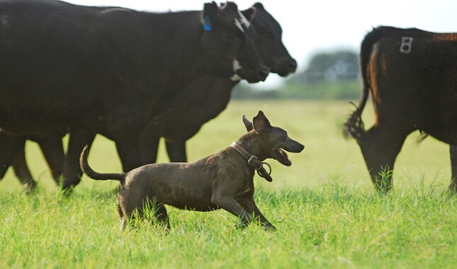 Lacy Dog With Cows