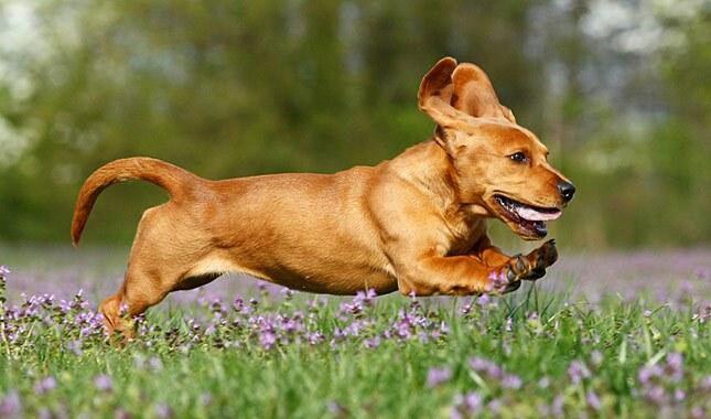 Basador Dog