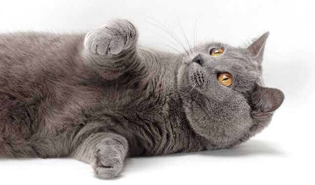 Chartreux cat laying down