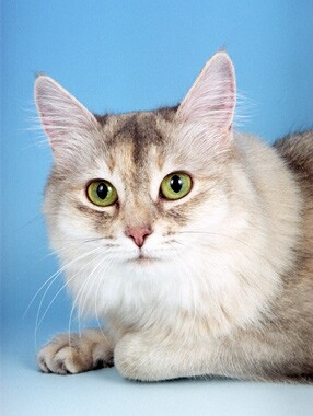 Somali cat