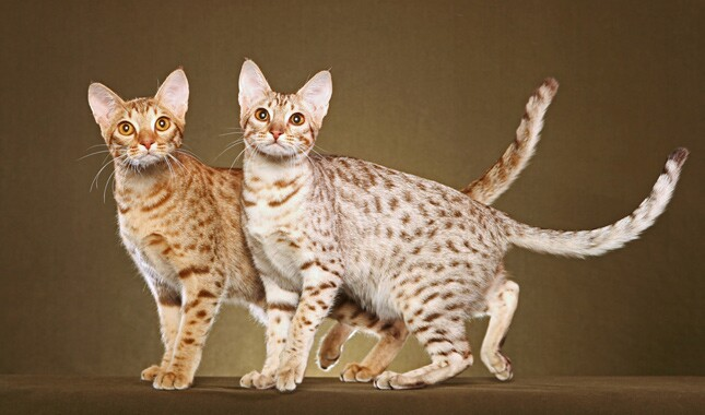 Two Ocicats Looking at Camera