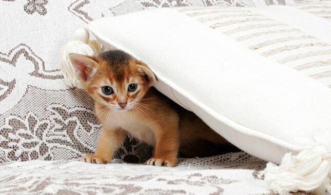 Abyssinian Kitten Under Pillow
