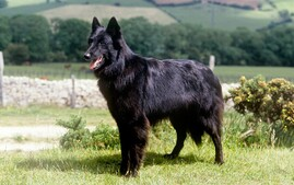 Belgian Sheepdog standing on a hillside