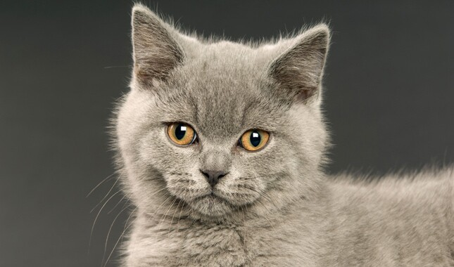 British Shorthair With Orange Eyes
