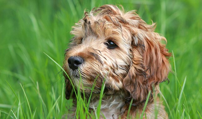 Cockapoo dog in grass