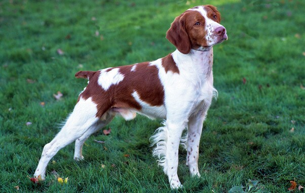 Brittany Dog Breed Information