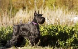 Standard Schnauzer Dog