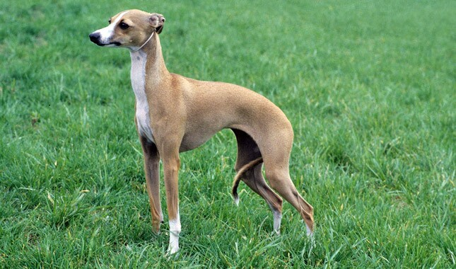 Italian Greyhound Dog Breed Information