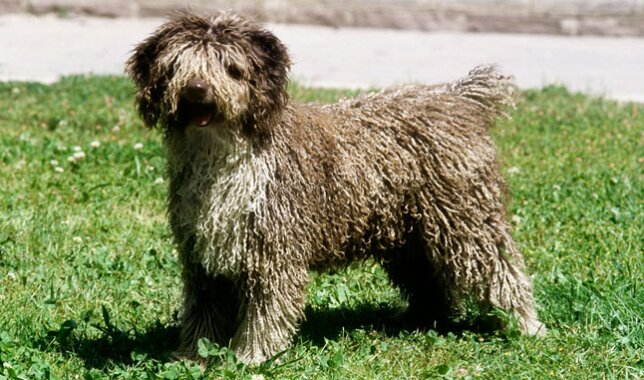 Spanish Water Dog in Grass