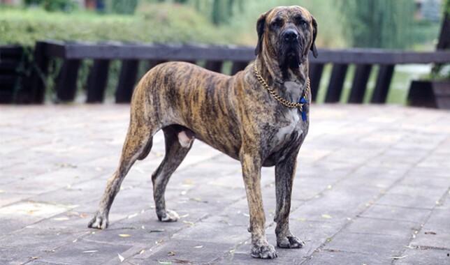 Fila Brasileiro dog