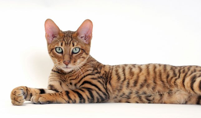 Toyger cat lying down