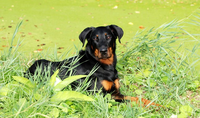 Beauceron dog in grass