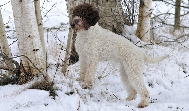 Lagotto Romagnolo in Snow