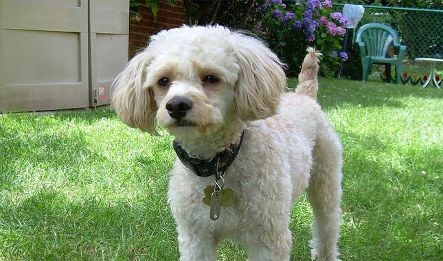 Cavapoo Dog Breed