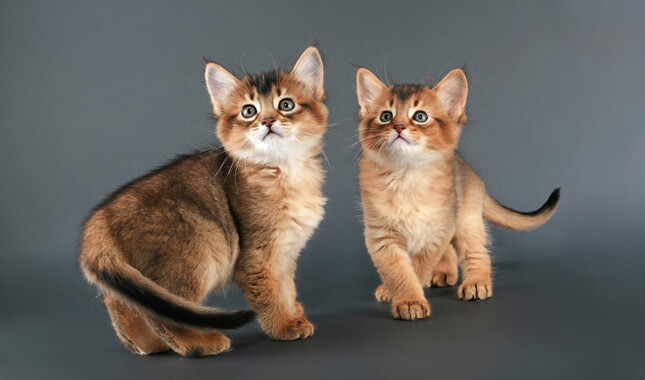 Two Somali Kittens