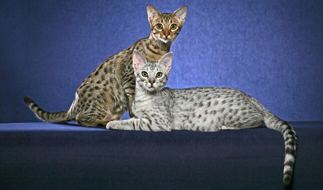 Two Ocicats on Blue Background