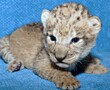 A lucky lion cub arrived at the Dallas Zoo on St. Patrick's Day.