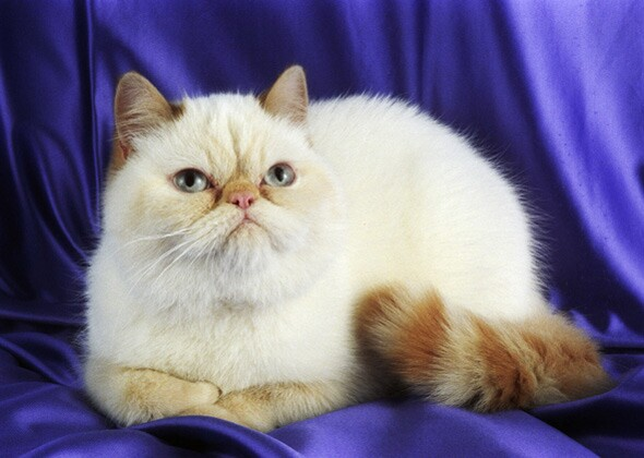 705742bdfb Little Known Facts About 10 Popular Cat Breeds — Photo Gallery