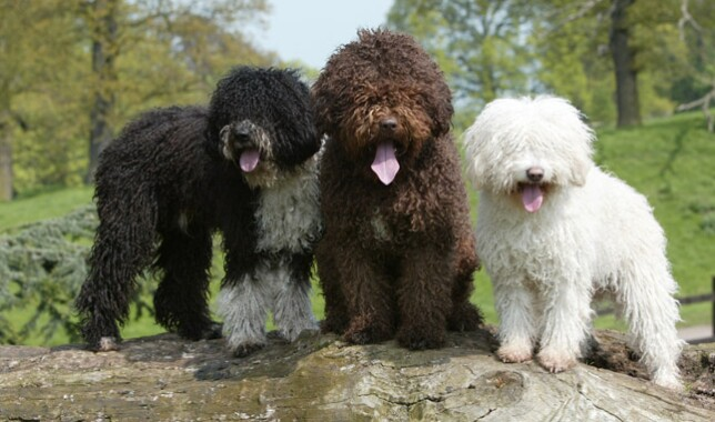 Three Spanish Water Dogs