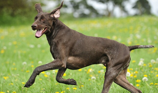 German Shorthaired Pointer running in a field