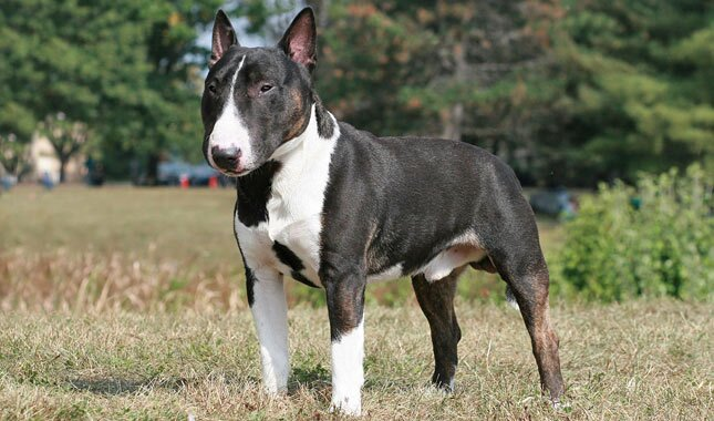 miniature bull terrier breed information