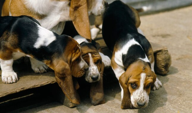 Basset Hound With Puppies