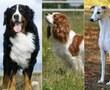 Bernese Mountain Dog Cavalier King Charles Spaniel Whippet