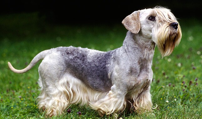 Cesky Terrier Dog Breed