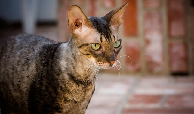 Close Up Of Cornish Rex