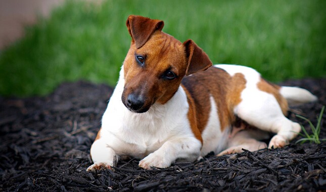 Jack Russell Terrier Looking at Camera