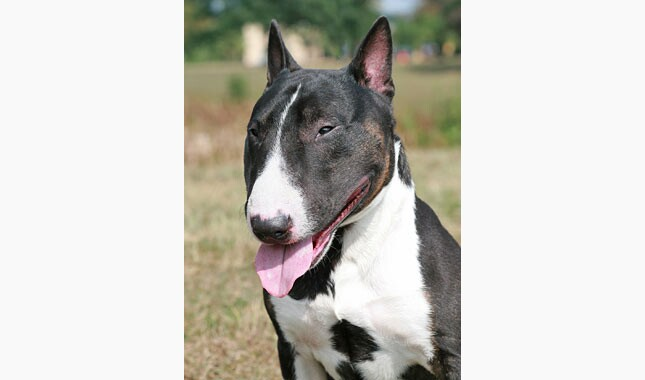 Miniature Bull Terrier Dog Breed