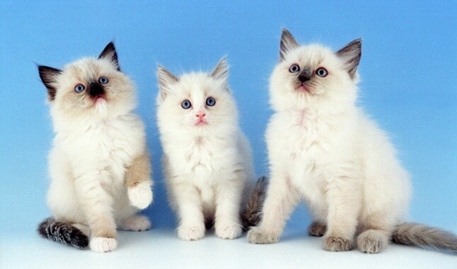 Three Ragdoll Kittens