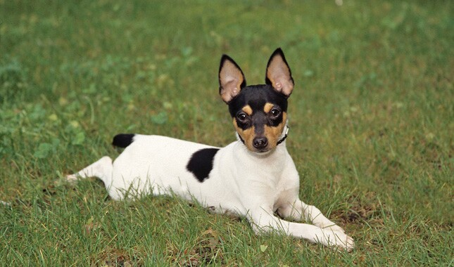 Toy fox terrier dogs